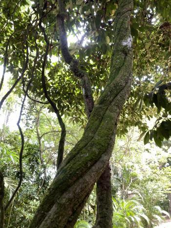 Ayahuasca liana